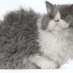 Кошки Рексы
