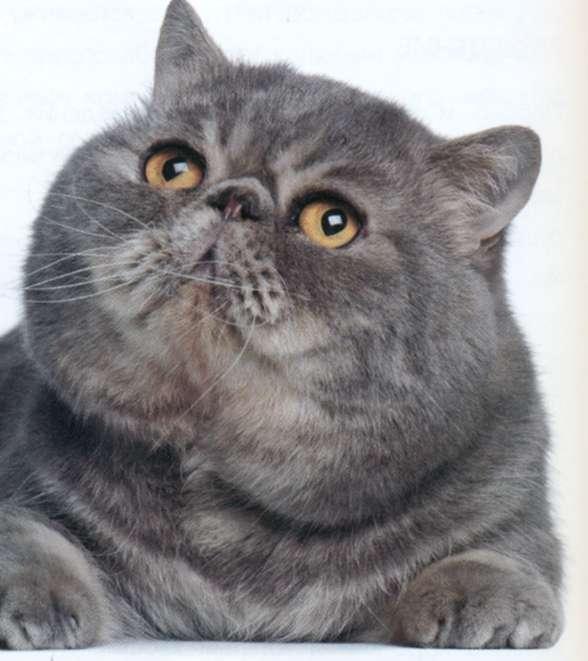 Кот Экзот, фото