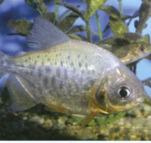 Красный паку, фото рыбки