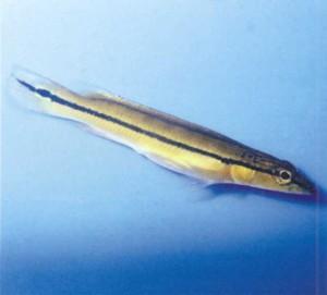 Аквариумная рыбка Креницихла, фото