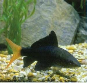 Лабео таиландский, фото рыбки