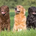 Labrador-retriver opisanie
