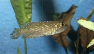 фото рыбки Лампрологус жемчужный