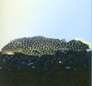 фото рыбки Лепоракантикус