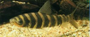 Лепоринус полосатый, фото рыбки