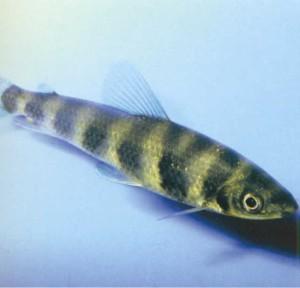 Лепоринус восьмиполосный, фото рыбки
