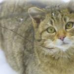 Лесной кот, фото