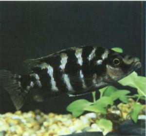Фото аквариумной рыбки Лобохилотес губастый