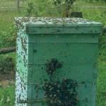 Ложное роение пчел