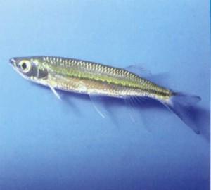 фото аквариумной рыбки Луциосома