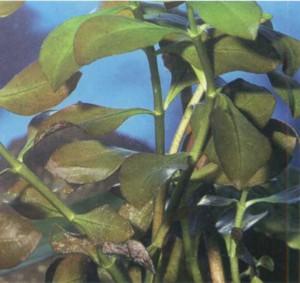 Людвигия ползучая, фото растения