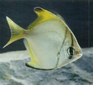 Фото малайской рыбы-ангела