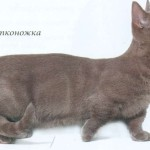 Манчкин кошки