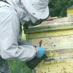 Маточники пчел