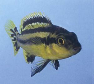 Фото аквариумной рыбки Мбуна Чипока