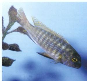 Фото рыбки Мбуна Трэвиса