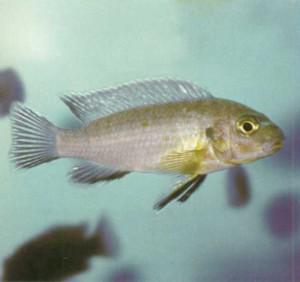 фото рыбки аквариумной Мбуна голубая