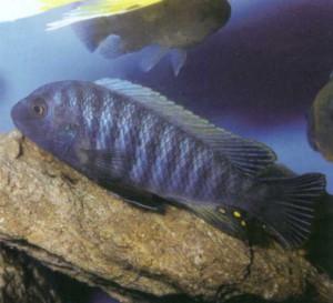 Аквариумная рыбка Мбуна-зебра, фото