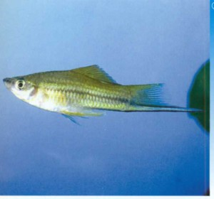 Аквариумная рыбка Меченосец Геллера, фото