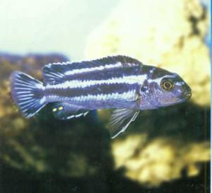 Рыбка аквариумная Меланохромис Йоханна, фото