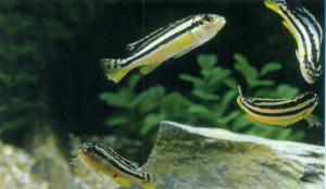 Фото рыбки Меланохромис ауратус