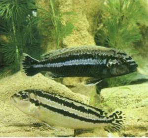 Фото рыбки Меланохромис линейный