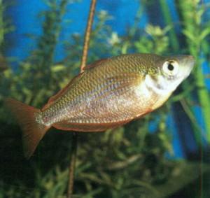 фото рыбки Меланотения австралийская