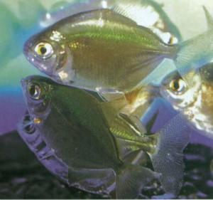 Метиннис пятнистый, фото рыбки