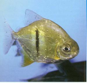 Милеус Шомбургка, фото рыбки