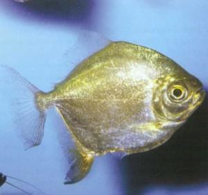 Милоплус красноперый, фото рыбки