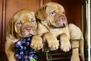 Можно ли собакам виноград и изюм