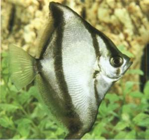 Фото рыбки  Муни африканский