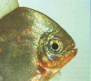 Myleus раси, фото рыбки