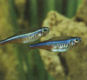 Неон бирюзовый, фото рыбки