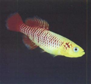 Фото рыбки Нотобранхиус Гюнтера