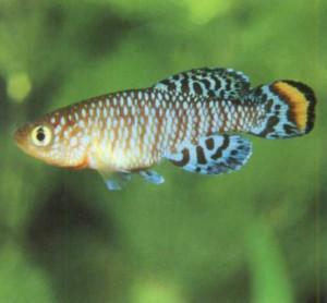 фото рыбки Нотобранхиус Рахова