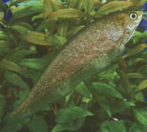 фото аквариумной рыбки Нотоптерус
