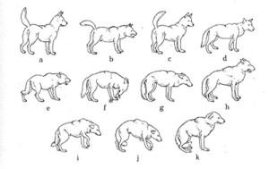 О чем говорит собачий хвост