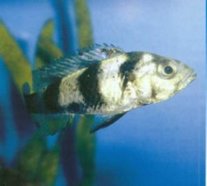 Фото аквариумной рыбки Обликвиденс синий