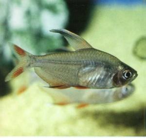 Орнатус обыкновенный, фото рыбки