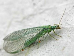 Отряд сетчатокрылые, фото