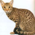 Оцикет, фото кошки
