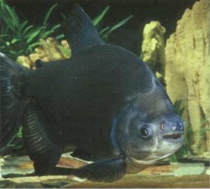 Паку черный, фото рыбки