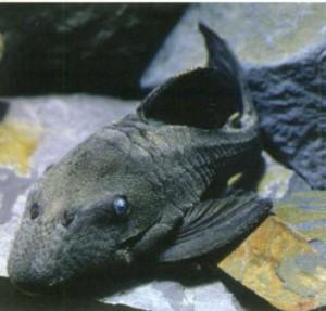 фото рыбки Панакве голубоглазый