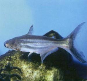 Пангасия большеглазая, фото рыбки