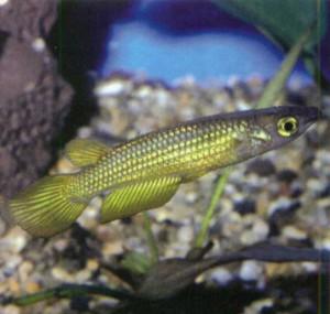 Фото рыбки Панхакс полосатый