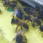 Пчелиные трутни