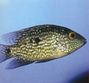 Пчелка рыба, фото