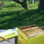 Пчелы-трутовки