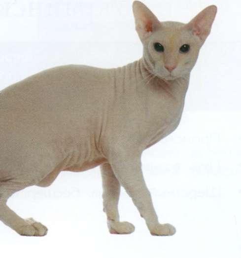 Петербургский сфинкс, фото кошки